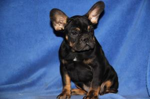 FrenchBulldogpuppiesforsale